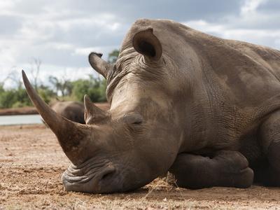 https://imgc.allpostersimages.com/img/posters/white-rhino-ceratotherium-simum-royal-hlane-national-park-swaziland-africa_u-L-PFNOCS0.jpg?artPerspective=n