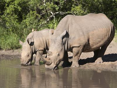 https://imgc.allpostersimages.com/img/posters/white-rhino-ceratotherium-simum-with-calf-makalali-game-reserve-south-africa-africa_u-L-PFNOAW0.jpg?p=0