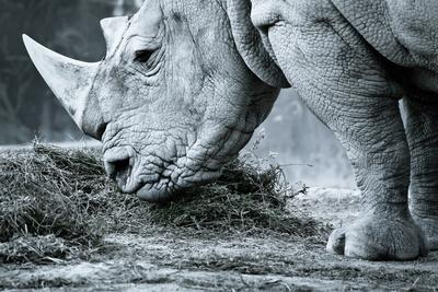 https://imgc.allpostersimages.com/img/posters/white-rhino-in-black-and-white-eating_u-L-Q10387B0.jpg?artPerspective=n