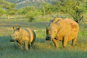 White Rhinoceros Female and Young in Savannah