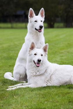 White Swiss Shepherd Dog Pair