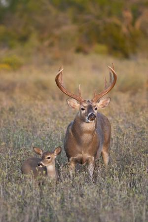 https://imgc.allpostersimages.com/img/posters/white-tailed-deer-buck-and-fawn-in-field-texas-usa_u-L-PN6XYF0.jpg?p=0
