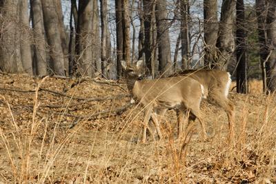https://imgc.allpostersimages.com/img/posters/white-tailed-deer-in-late-winter-pennsylvania_u-L-Q10U9AC0.jpg?p=0