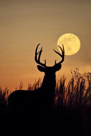 https://imgc.allpostersimages.com/img/posters/white-tailed-deer-odocoileus-virginianus-at-harvest-moon-texas-usa_u-L-PXR8K80.jpg?p=0