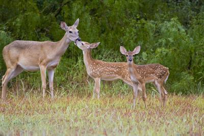 https://imgc.allpostersimages.com/img/posters/white-tailed-deer-odocoileus-virginianus-doe-with-fawns-texas-usa_u-L-PN6XZO0.jpg?artPerspective=n
