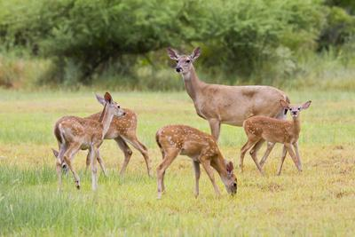 https://imgc.allpostersimages.com/img/posters/white-tailed-deer-odocoileus-virginianus-doe-with-fawns-texas-usa_u-L-PXR8CC0.jpg?p=0