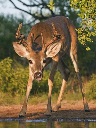 https://imgc.allpostersimages.com/img/posters/white-tailed-deer-texas-usa_u-L-PHASN20.jpg?p=0