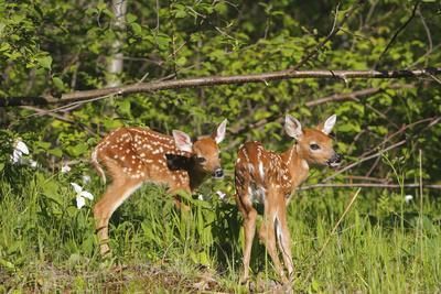 https://imgc.allpostersimages.com/img/posters/white-tailed-deer-two-fawns_u-L-Q106EIO0.jpg?p=0