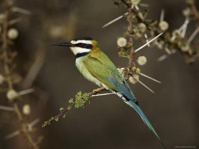 https://imgc.allpostersimages.com/img/posters/white-throated-bee-eater-merops-albicollis-perched-in-an-acacia-tree-samburu-game-reserve-kenya_u-L-P1QS5X0.jpg?p=0
