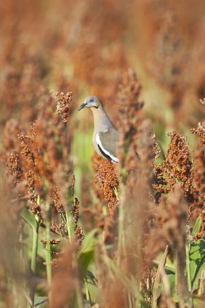https://imgc.allpostersimages.com/img/posters/white-winged-dove-zenaida-asiatica-perched-on-sorghum-texas-usa_u-L-PN6ZTR0.jpg?p=0