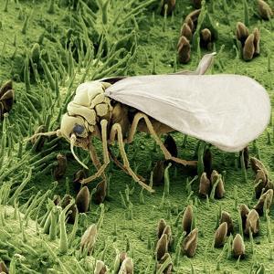 Whitefly on Leaf