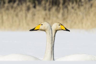 https://imgc.allpostersimages.com/img/posters/whooper-swan-cygnus-cygnus-male-and-female-facing-in-opposite-directions-central-finland-april_u-L-Q13ABX50.jpg?artPerspective=n