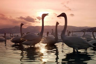 https://imgc.allpostersimages.com/img/posters/whooper-swans-at-sunset_u-L-Q106H5H0.jpg?p=0