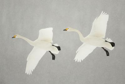 https://imgc.allpostersimages.com/img/posters/whooper-swans-cygnus-cygnus-two-in-flight-during-snowfall-lake-kussharo-japan-february_u-L-Q13ABVQ0.jpg?artPerspective=n