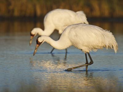 https://imgc.allpostersimages.com/img/posters/whooping-crane-aransas-national-wildlife-refuge-texas-usa_u-L-PHASL50.jpg?p=0