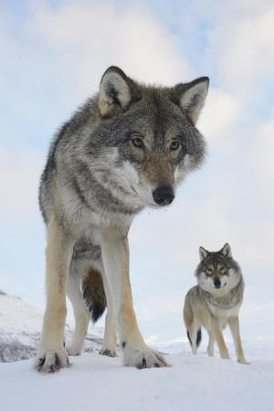 https://imgc.allpostersimages.com/img/posters/wide-angle-close-up-of-two-european-grey-wolves-canis-lupus-captive-norway-february_u-L-Q13ABYG0.jpg?p=0
