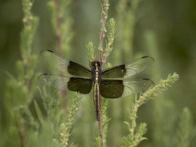 https://imgc.allpostersimages.com/img/posters/widow-dragonfly-or-widow-damselfly-perched-boyd-lake-state-park-colorado-usa_u-L-P7NMTC0.jpg?artPerspective=n