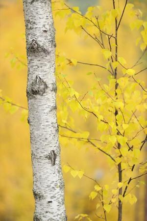 Birch Tree (Betula Verrucosa or Pubescens) Oulanka, Finland, September 2008