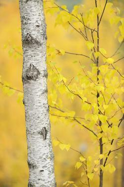 Birch Tree (Betula Verrucosa or Pubescens) Oulanka, Finland, September 2008 by Widstrand