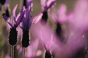 Close Up of Spanish Lavender (Lavandula Stoechas) Monfrague Np, Extremadura, Spain, March by Widstrand