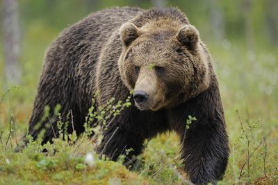 Eurasian Brown Bear Portrait (Ursus Arctos) Suomussalmi, Finland, July 2008