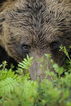 Eurasian Brown Bear (Ursus Arctos) Close-Up of Face, Suomussalmi, Finland, July by Widstrand