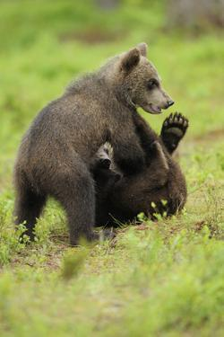 Eurasian Brown Bear (Ursus Arctos) Cubs Fighting While Playing, Suomussalmi, Finland, July 2008 by Widstrand