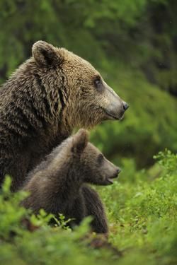 Eurasian Brown Bear (Ursus Arctos) Mother and Cub, Suomussalmi, Finland, July 2008 by Widstrand