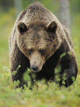 Eurasian Brown Bear (Ursus Arctos) Suomussalmi, Finland, July 2008 by Widstrand