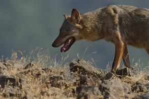 Eurasian Grey Wolf (Canis Lupus Lupus) At A Vulture Watching Site In The Madzharovo Valley by Widstrand