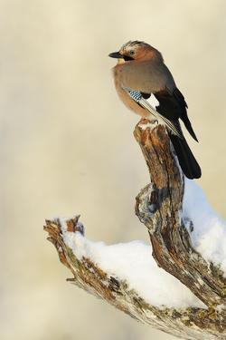 Eurasian Jay (Garrulus Glandarius) Perched on Branch in Snow, Flatanger, Norway, November 2008 by Widstrand