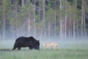 European Grey Wolf (Canis Lupus) Interacting with European Brown Bear (Ursus Arctos) Kuhmo, Finland by Widstrand