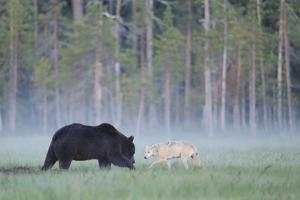 European Grey Wolf (Canis Lupus) Interacting with European Brown Bear (Ursus Arctos) Kuhmo, Finland by Widstrand