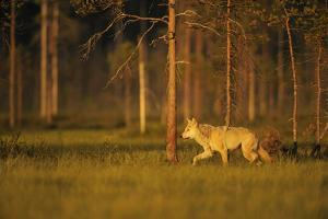 European Grey Wolf (Canis Lupus) Walking, Kuhmo, Finland, July 2009 by Widstrand