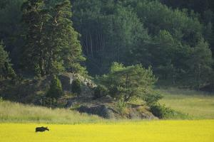 Female European Moose (Alces Alces) in Flowering Field, Elk, Morko, Sormland, Sweden, July 2009 by Widstrand