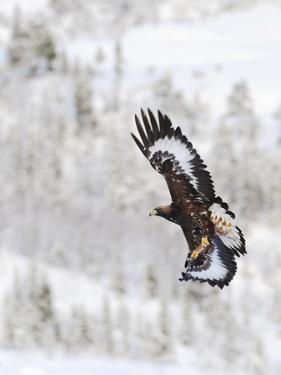 Golden Eagle (Aquila Chrysaetos) in Flight, Flatanger, Norway, November 2008 by Widstrand