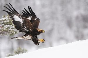 Golden Eagle (Aquila Chrysaetos) Landing in Snow, Flatanger, Norway, November 2008 by Widstrand