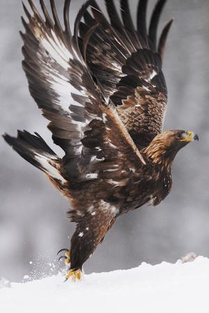 Golden Eagle (Aquila Chrysaetos) Taking Off, Flatanger, Norway, November 2008