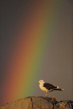 Greater Black Backed Gull (Larus Marinus) Standing on Rock with Rainbow, Flatanger, Norway by Widstrand