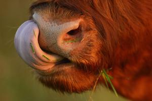 Highland Cattle Cow (Bos Taurus) Cleaning Nose With Tongue by Widstrand