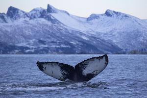 Humpback Whale (Megaptera Novaeangliae) Tail Fluke Above Water before Diving by Widstrand
