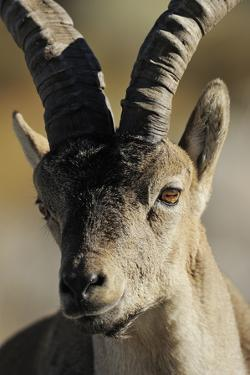 Male Spanish Ibex (Capra Pyrenaica) Portrait, Sierra De Gredos, Spain, November 2008 by Widstrand