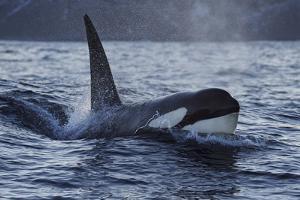 Orca - Killer Whale (Orcinus Orca) Surfacing, Senja, Troms County, Norway, Scandinavia, January by Widstrand