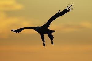 White Tailed Sea Eagle (Haliaeetus Albicilla) in Flight Silhouetted Against an Orange Sky, Norway by Widstrand