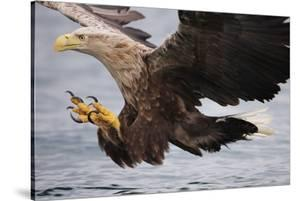 White-Tailed Sea Eagle (Haliaetus Albicilla) About to Take Fish from Water, Flatanger, Norway, June by Widstrand