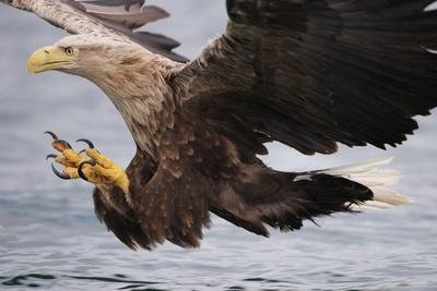 White-Tailed Sea Eagle (Haliaetus Albicilla) About to Take Fish from Water, Flatanger, Norway, June