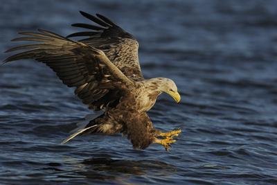 White Tailed Sea Eagle Hunting, North Atlantic, Flatanger, Nord-Trøndelag, Norway, August