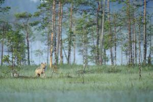 Wild European Grey Wolf (Canis Lupus) Kuhmo, Finland, July 2008 by Widstrand