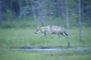 Wild European Grey Wolf (Canis Lupus) Walking, Kuhmo, Finland, July 2008 by Widstrand
