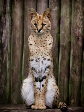 Image of a Serval by Wil Wardle Photography
